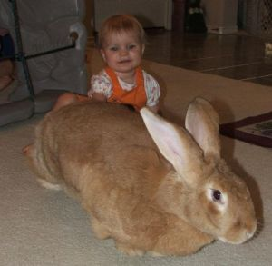613px-Flemish_giant_with_child