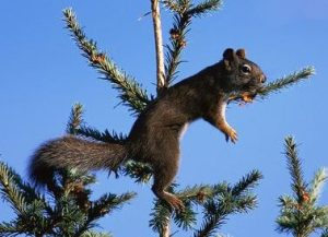American-red-squirrel-searching-for-fir-cones-at-top-of-Douglas-fir-tree