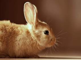 cute-brown-bunny