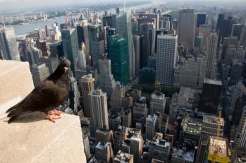 Pigeon-640x425