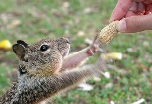 squirrel-peanut