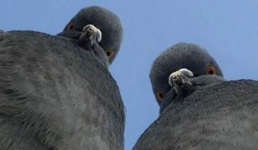 angry-pigeons