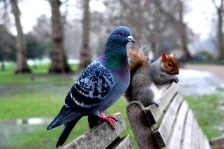 pigeon___squirrel_by_dzhiidzhiks