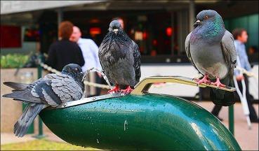 pigeon_trio