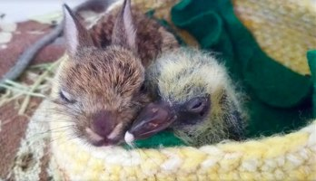 rabbit-pigeon-snuggling-together-2