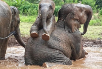 elephant-thai-family