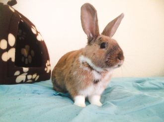 beautiful-male-rabbit-for-stud-55c8ddbb0d2f6
