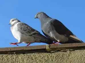 garden pigeons