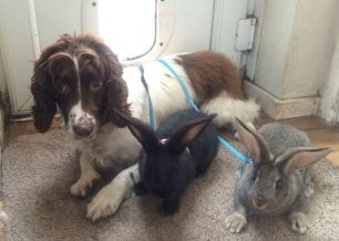 litter-trained-giant-indoor-baby-rabbits-537f9677a49ba