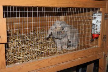 lop-eared-dwarf-rabbit-and-hutch-530a5a7ecf227