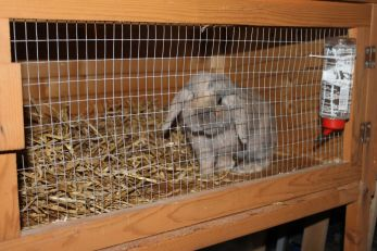 lop-eared-dwarf-rabbit-and-hutch-530a5a7ecf227