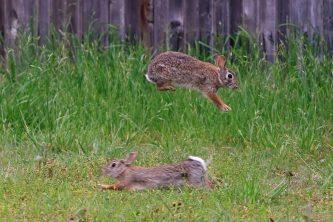 Rabbit-courtship-Lg-1024x683